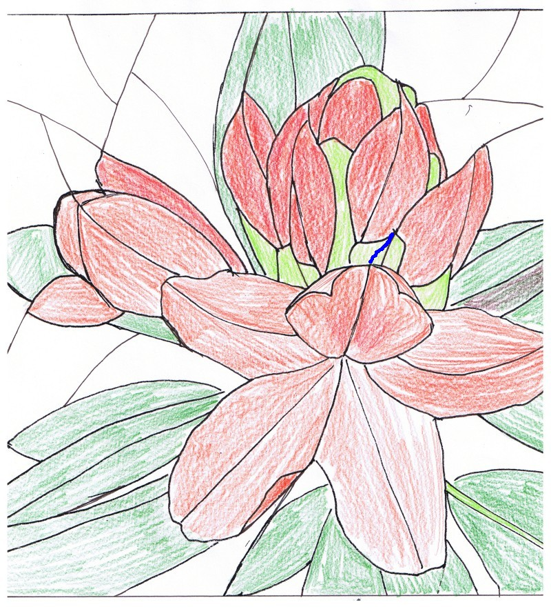 Pink Rhododendron Drawing Using The Original Drawing